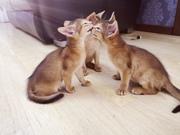 Абиссинский котенок. Мальчик дикого окраса.