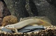 Полиптерус сuнегальский