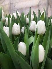 Бронь на свежий срез тюльпанов к 8 Марта.